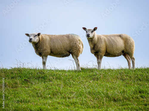 In de dag Schapen Sheep grazing on a dike on the Dutch coast