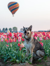Portrait Of A Kunming Wolfdog Posing On A Tulip Field. Hot Air Balloon Lifting Off In The Background