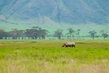 Black Rhinoceros (Diceros Bico...