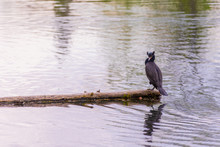 Double-crested Cormorant Sitting Of A Log In The Middle Of A Lake With His Head Turned Left.
