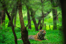 A Male Tiger Cub Relaxing In N...