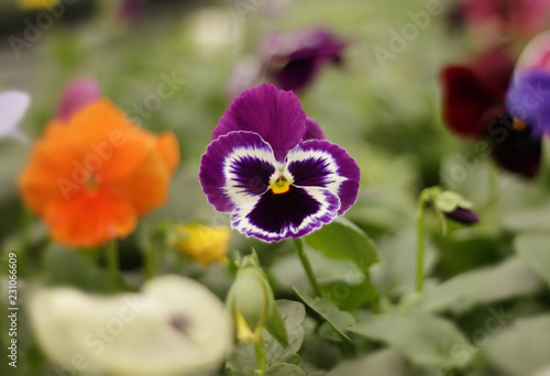 Deurstickers Pansies Colorful pansy flowers