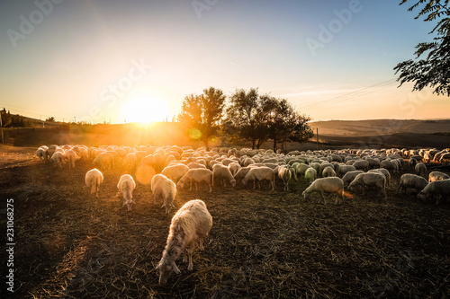 Fotografie, Obraz  Sheeps