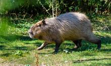 A Capybara (hydrochoerus Hydrochaeris) Walking On Bare Ground Against A Blurred Natural Background