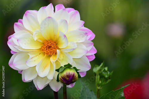 In de dag Dahlia Close up of a pink and white dahlia flower in bloom