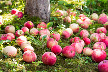 Ripen Apples On The Grass Under The Apple Tree