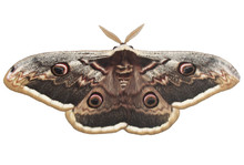 Giant Peacock Moth 3