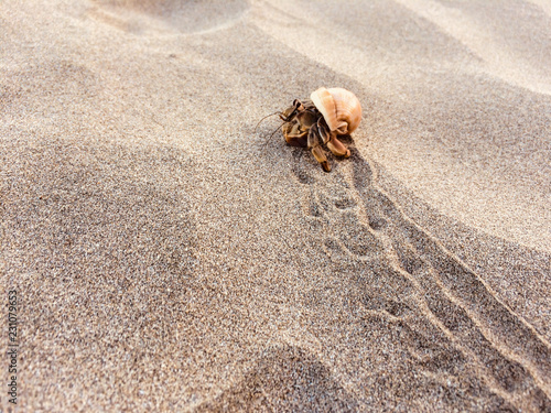 Photo hermit crab on beach  - crab inside shell  -