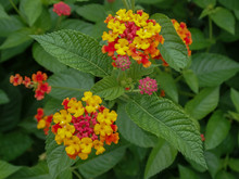 Pink And Yellow Lantana Flower...