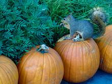 Squirrel Eating A Pumpkin