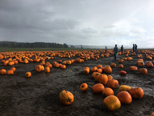 Large Pumpkin Patch With Stormy Sky And People Walking Through The Patch In The Rain