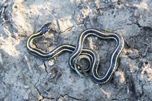 A Young Garter Snake Basking On Cracked Muddy Ground