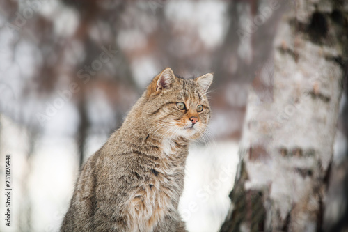 Photo  Beautiful wild cat in winter