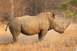 canvas print picture - The white rhino male in Kruger National Park