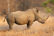 The White Rhino Male In Kruger...
