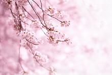 Cherry Blossom In Full Bloom. ...