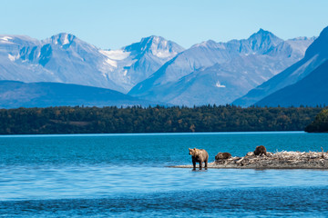 Brown bear family, sow with three cubs on a sand spit in Naknek Lake, Katmai National Park, Alaska, USA
