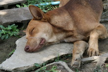 Portrait Of   Lying  Thai Dog,...