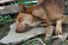 Portrait Of   Lying  Thai Dog,watch Dog