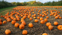 Pumpkins In The Field In Autum...