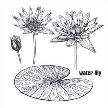 Realistic Water Lily Flowers. Vector Illustration.