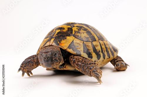 Griechische Landschildkröte (Testudo hermanni) - Hermann's tortoise