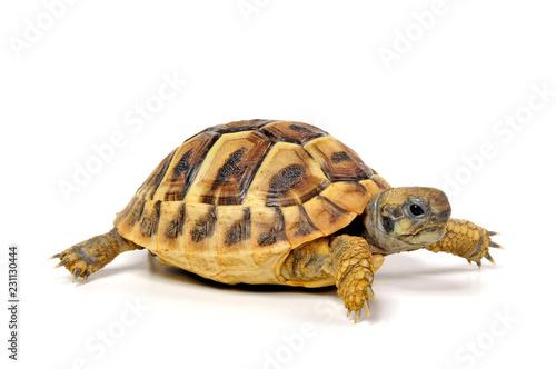 Poster Tortue junge Griechische Landschildkröte (Testudo hermanni) - Hermann's tortoise