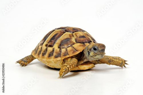 junge Griechische Landschildkröte (Testudo hermanni) - Hermann's tortoise