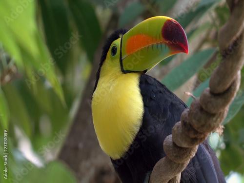 Staande foto Toekan keel-billed toucan head portrait (Ramphastos sulfuratus)