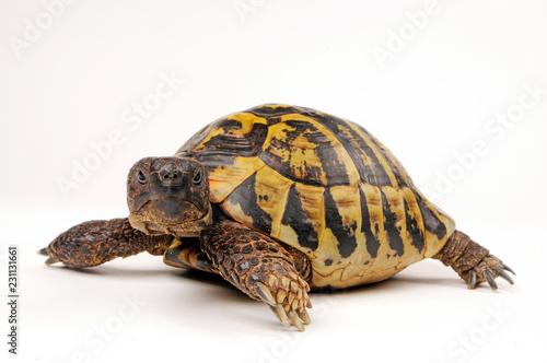 Griechische Landschildkröte (Testudo hermanni boettgeri) - Hermann's tortoise