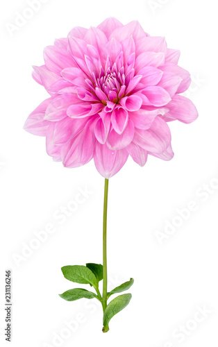 Pink dahlia with stem and leaves isolated on white background