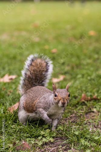 Keuken foto achterwand Eekhoorn grey squirrel in London park