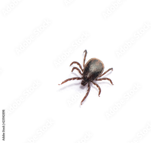 Disease-carrier ticks isolated on white