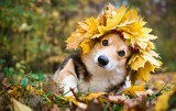 Fototapeta Zwierzęta - A dog of the Welsh Corgi breed Pembroke on a walk in the autumn forest. A dog in a wreath of autumn leaves.