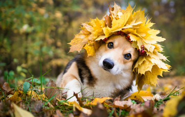 A dog of the Welsh Corgi breed Pembroke on a walk in the autumn forest. A dog in a wreath of autumn leaves.