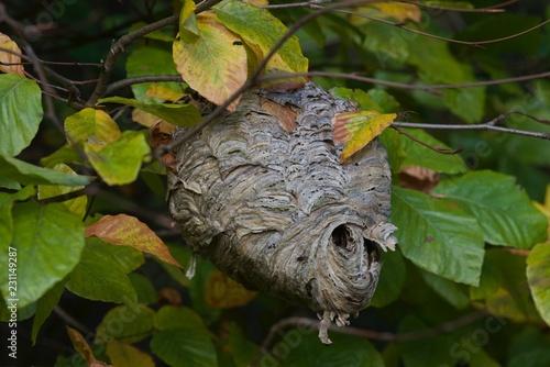 gniazdo szerszeni na drzewie