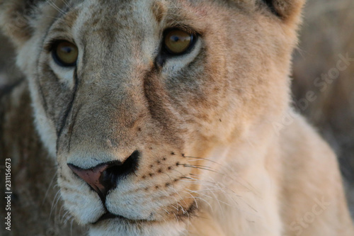 Staande foto Leeuw Lion, Masai Mara