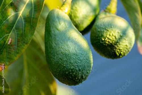 Seasonal harvest of green orgaic avocado, tropical green avocadoes riping on big tree