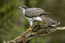 Adult Male Of Northern Goshawk...