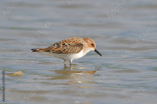 Valokuvatapetti Little stint in shallow water
