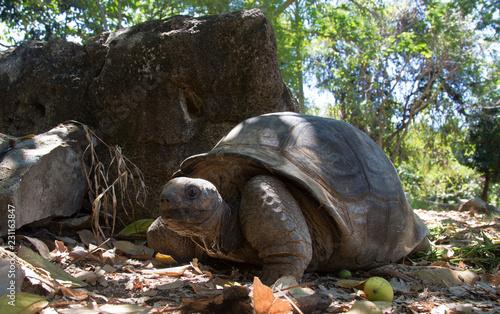Giant land turtle in the jungle of Nosy Komba Island, Madagascar