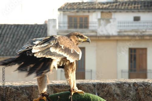 Photo  Aguila acechando