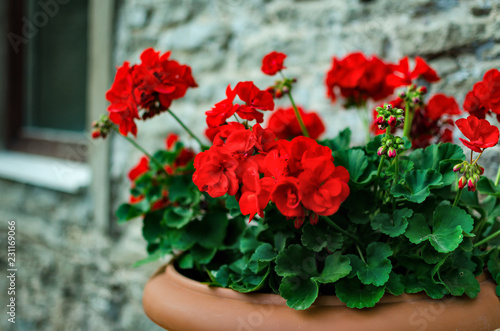Red garden geranium flowers in pot , close up shot. geranium flowers. pelargonium