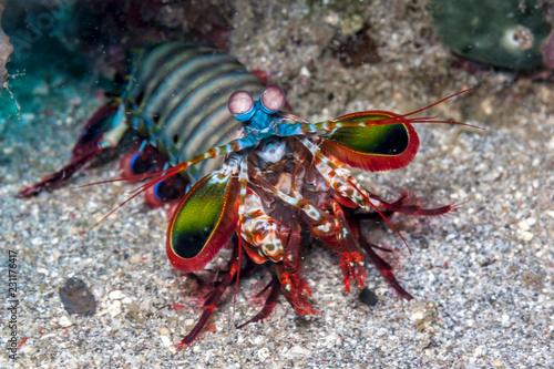 Odontodactylus scyllarus, peacock mantis shrimp Wallpaper Mural