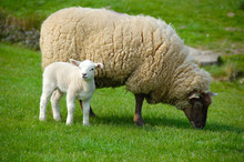 Sheep And Lamb In Field