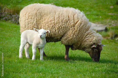 Staande foto Schapen Sheep and lamb in field