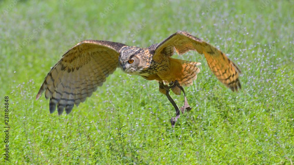 Gufo reale che sta volando sopra il prato verde