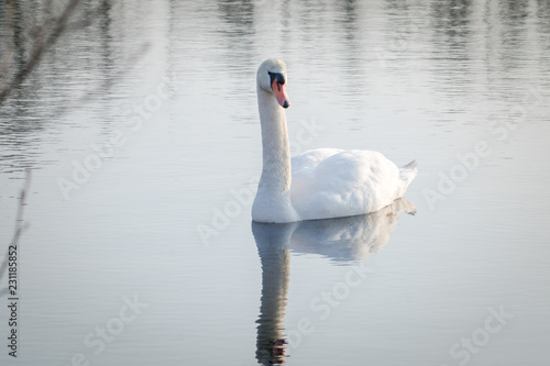 Deurstickers Zwaan Pretty swan on a lake