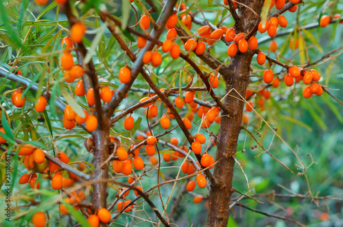 Fotobehang Bloemen orange sea buckthorn berries on the bushes, sea buckthorn