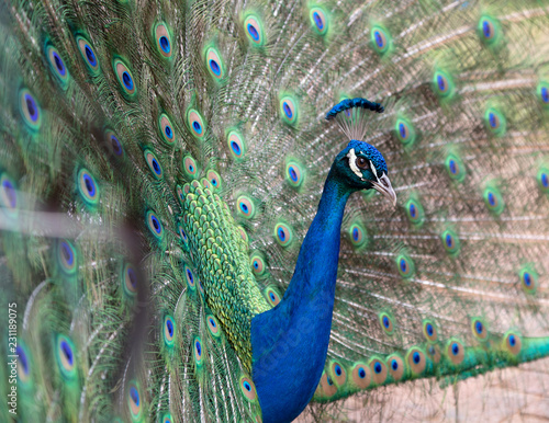Papiers peints Paon Side view of a male peacock displaying its colorful feathers